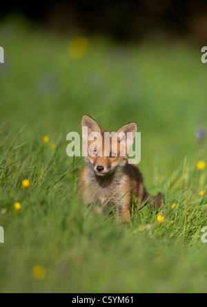 Zorro Rojo Vulpes vulpes retrato de una alerta fox cub en una pradera llena de flores. Derbyshire, Reino Unido Imagen De Stock
