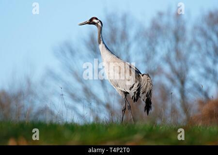 Grulla común (grus grus), animal adulto en una pradera en primavera, Schaalsee Reserva de la Biosfera, en el Estado federado de Mecklemburgo-Pomerania Occidental, Alemania Imagen De Stock