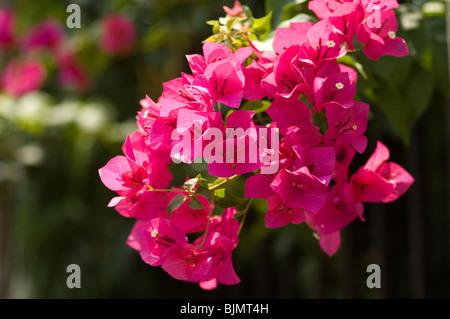 Rosa, rojo Bougainvillea cluster tomadas en Tailandia en un contenedor de plantas cultivadas. Imagen De Stock