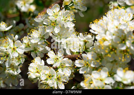 Imagen cercana de muchas flores de primavera blanca de una flor de ciruelo. Imagen De Stock