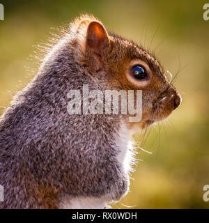 Retrato de una ardilla gris oriental Imagen De Stock