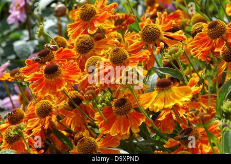 Helenium Waltraut - planta perenne que florece a finales de verano Imagen De Stock
