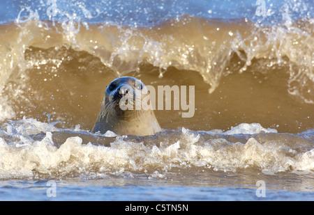 Junta gris Halichoerus grypus una hembra adulta curiosamente emerge entre las olas. Lincolnshire, Reino Unido Imagen De Stock