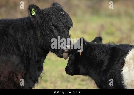 Vaca (Bos taurus), madre vaca lamer el rostro de la ternera, en Suffolk, Inglaterra, Reino Unido Imagen De Stock