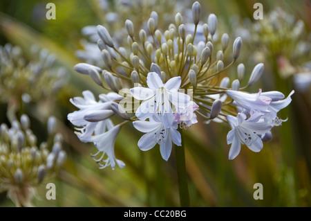 Agapanthus gris plateado. Luz azul Lily africana o el lirio del Nilo. Imagen De Stock