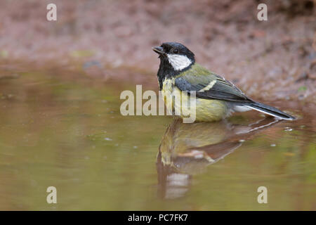 Gran adulto tit Parus principales bañarse en un estanque de jardín en Berwickshire, Scottish Borders en mayo. Imagen De Stock