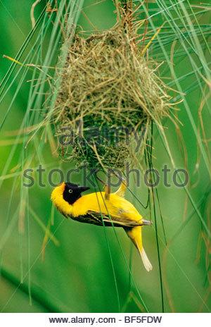 Menor tejedor enmascarado macho construir nido, Ploceus intermedius, Delta del Okavango, Botswana Imagen De Stock