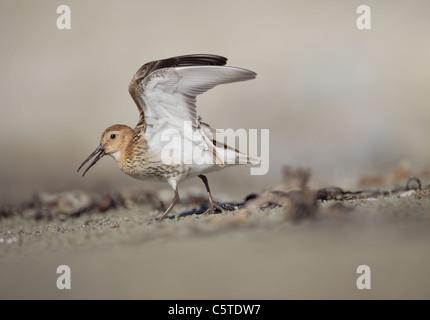 Playerito Vientre Negro Calidris alpina un adulto en una carga agresiva en una disputa por el territorio. Islas Imagen De Stock