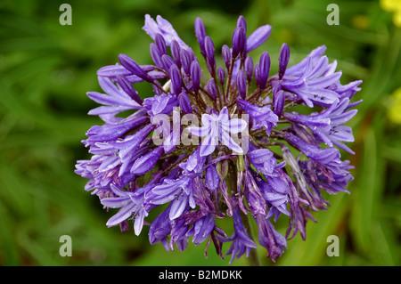 Flor Única braguero de Agapanthus, que es bastante resistente a la lluvia pesada herbácea perenne muy Imagen De Stock