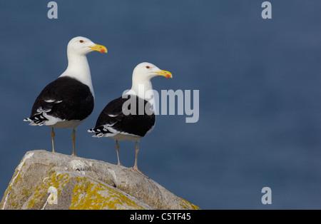 Gran negro-respaldado GULL Larus marinus un par de adultos están juntos en una roca. De mayo. Las Islas saltee, Imagen De Stock