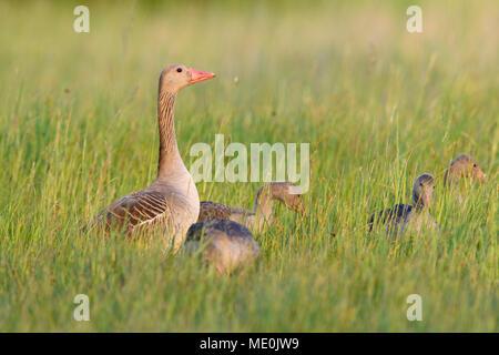 Hembra graylag goose (Anser anser) con sus crías jóvenes de pie en un campo de hierba en el Lago Neusiedl, en el Burgenland, Austria Imagen De Stock
