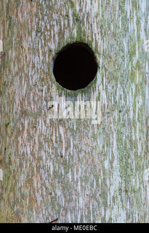 Cerca del agujero en el tronco del árbol en Neuschoenau en el Parque Nacional del Bosque Bávaro en Baviera, Alemania Imagen De Stock