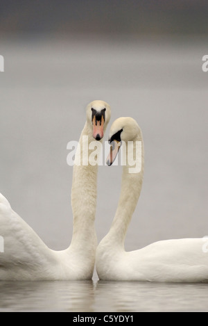 Cisne Cygnus olor un par de adultos implicados en un baile de cortejo. Febrero. Derbyshire, Reino Unido Imagen De Stock