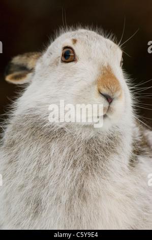 MOUNTAIN LIEBRE Lepus timidus close up retrato de un adulto de la turba expuesta junto a un banco. Las Montañas Imagen De Stock
