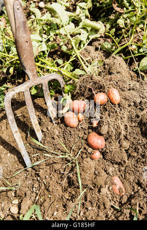 Agricultor cosechar patatas en granja orgánica Imagen De Stock