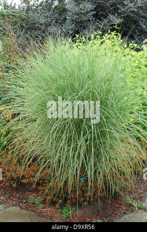 Miscanthus sinensis Morning Light - popular hierba ornamental Imagen De Stock