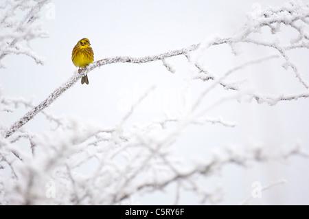YELLOWHAMMER Emberiza citrinella retrato de un adulto posado sobre ramas recubiertas de escarcha. Dumfries y Galloway, Imagen De Stock