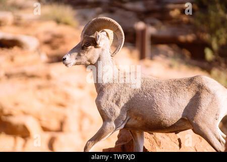 Close-up de una cabra del desierto de Ram, el Parque Nacional de Zion, Utah, Estados Unidos Imagen De Stock