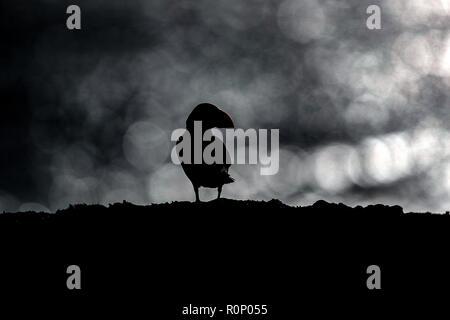 Frailecillo atlántico (Fratercula arctica) colocado sobre un acantilado siluetas contra nubes de tormenta, la isla Skomer, Gales Imagen De Stock