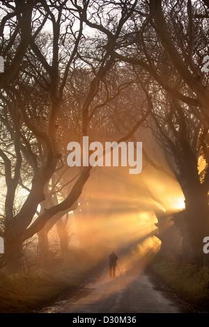 La luz de la mañana ilumina la avenida del árbol conocido como el Dark Hedges en Irlanda del Norte. Imagen De Stock