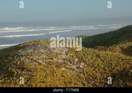 Wild iceplants sobre las dunas en la playa de Surf cerca de Lompoc, California central coast. Fotografía Digital. Imagen De Stock