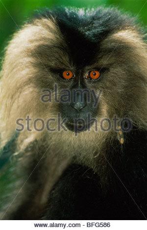 El macaco de cola de león, Macaca silenus, India Imagen De Stock