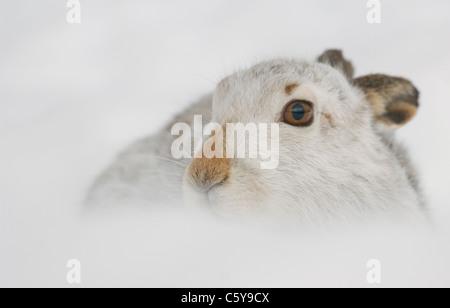 MOUNTAIN LIEBRE Lepus timidus close up retrato de un adulto en la nieve. Febrero. Las Montañas Monadhliath, Imagen De Stock