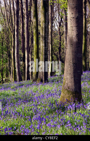 Portglenone Forest Park en el condado de Antrim, Irlanda del Norte. Imagen De Stock