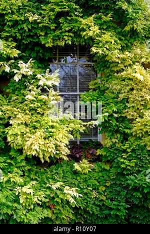 Wisteria cubierto de plantas que crecen alrededor de la propiedad en el período de ventana de guillotina Imagen De Stock