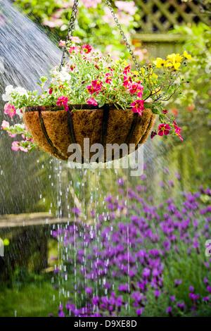 Cesta de flores colgantes obteniendo regado Imagen De Stock