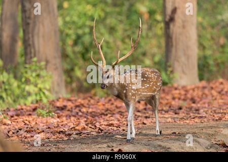La India, Uttarakhand, Jim Corbett Parque Nacional, o Chital Cheetal Chital o corzos, ciervos manchados o Ciervo Axis( Axis axis), macho adulto Imagen De Stock
