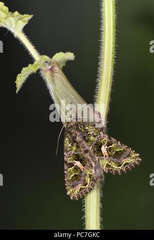 Polilla atriplicis Orache (tráquea) adulto en reposo en el vástago, criado en cautividad Imagen De Stock