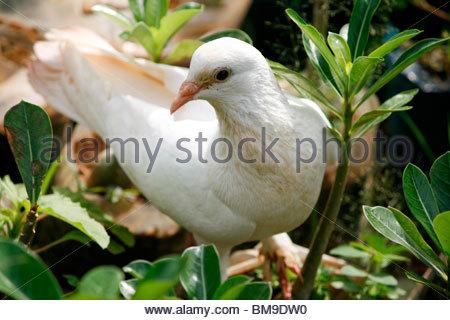 Una paloma blanca, Kerala Imagen De Stock