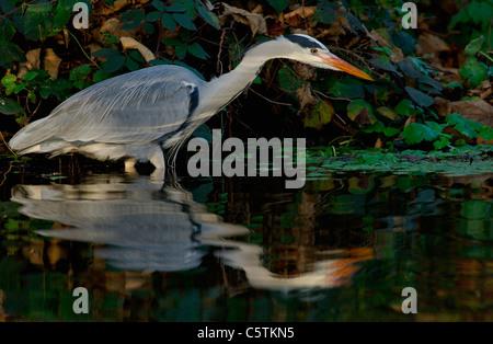 Garza Real Ardea cinerea pájaro adulto pesca en tonos de luz en los márgenes del río Lea en Londres. Imagen De Stock