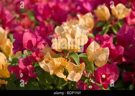Surtido de buganvillas flores de plantas cultivadas como hedge en Pattaya Tailandia Imagen De Stock