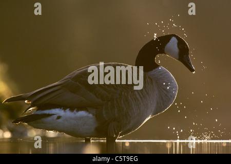 Canadá ganso Branta canadensis un adulto de bañarse en la luz del atardecer. Derbyshire, Reino Unido Imagen De Stock