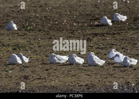 Las gaviotas de cabeza negra en Plumaje de invierno, dormir Imagen De Stock