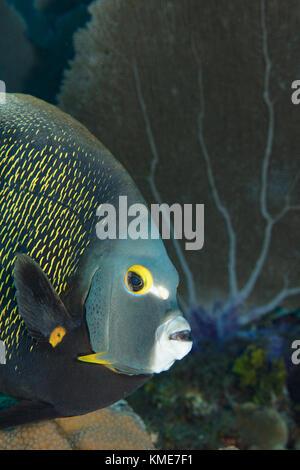 El pez ángel francés inquisitivo, ISLAS CAIMÁN Imagen De Stock