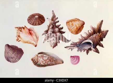 Conchas, por Claude Aubriet. Francia, 17ª del siglo XVIII Imagen De Stock