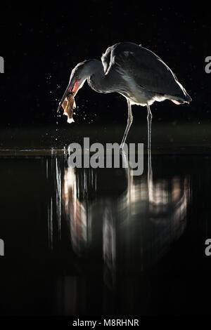 Garza real (Ardea menores Cinera) Coger un pez retroiluminado durante la noche en la lluvia Imagen De Stock