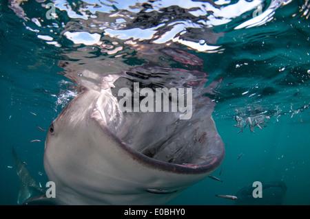 Tiburón ballena con la boca abierta, la bahía de Cenderawasih, Nueva Guinea, Indonesia (Rhincodon typus) Imagen De Stock