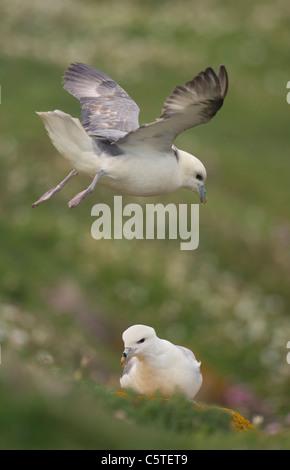 FULMAR Fulmarus glacialis un adulto se sitúa en un fuerte viento costero mientras otro se sienta en el suelo. Imagen De Stock