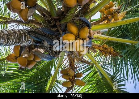 De Hanalei, Hawai, Kauai, la palmera de coco Imagen De Stock
