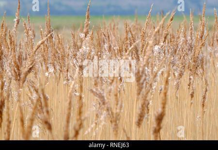 Lecho de Juncos, cley-junto al mar, en el norte de Norfolk, Inglaterra Imagen De Stock