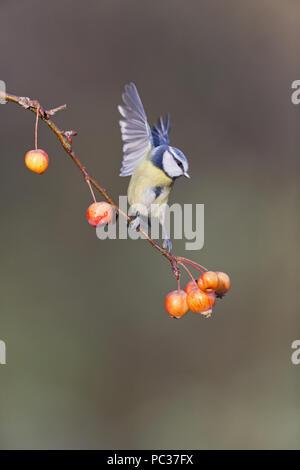 Azul Teta (Cyanistes caeruleus) adulto, encaramado en la rama, manzana, planteadas con alas, en Suffolk, Inglaterra, Noviembre Imagen De Stock