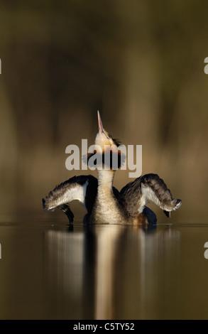 Somormujo LAVANCO Podiceps cristatus adulto estirando sus alas/cuello en Alba Luz solar. De marzo. Derbyshire, Reino Imagen De Stock