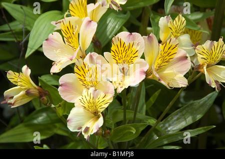 Jardín hardy perenne Lirio peruano adoptado el 14 de junio de 2008 Imagen De Stock