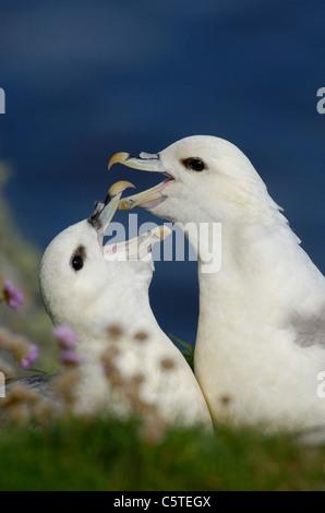 FULMAR Fulmarus glacialis las parejas reproductoras que participan en su pantalla parlotear ruidosamente. De mayo. Imagen De Stock