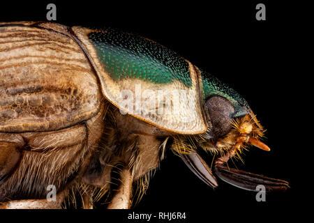 Retrato de perfil de un escarabajo japonés Imagen De Stock