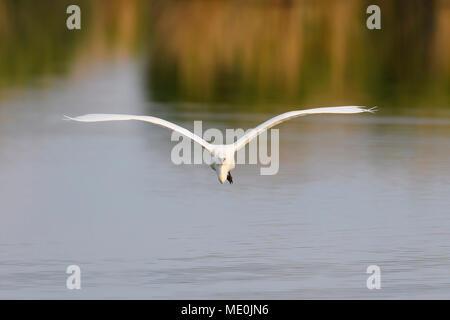 Vista frontal de una gran garceta Blanca (Ardea alba) en vuelo sobre el Lago Neusiedl, en el Burgenland, Austria Imagen De Stock